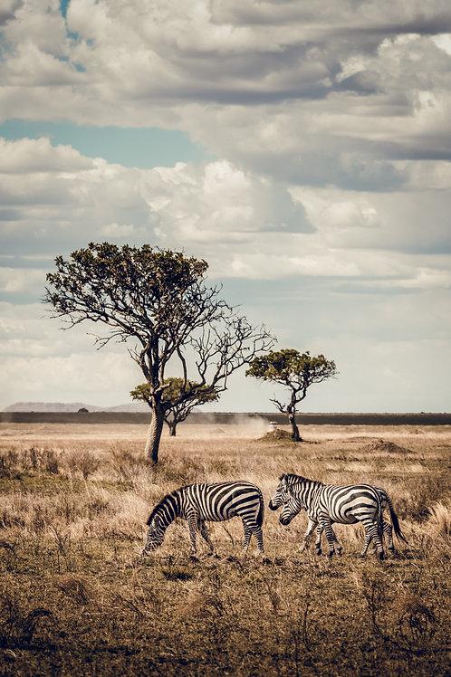 Zebres Tanzanie