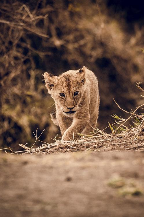Portrait Bébé lion Tanzanie