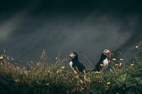 Puffin 2 Islande