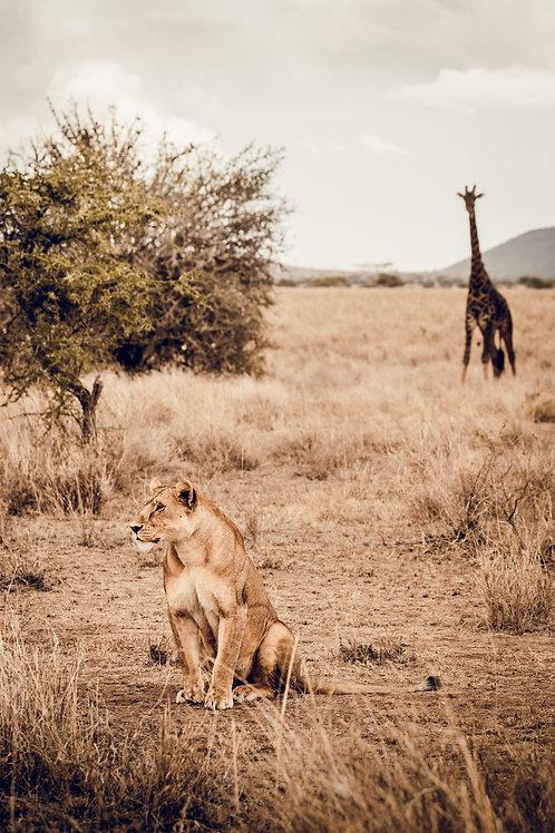 Lion & Girafe Tanzanie