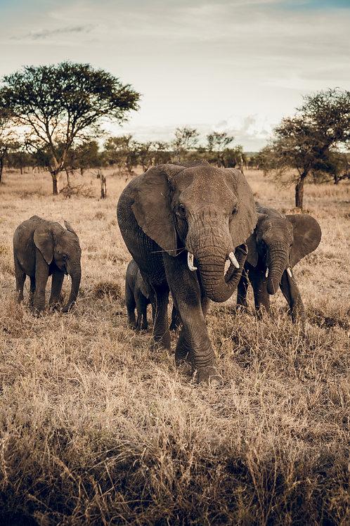 Troupe Elephants Tanzanie