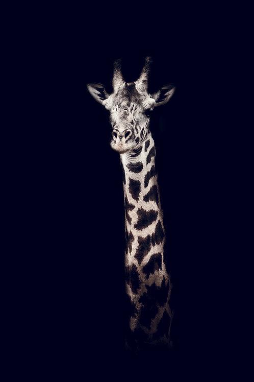 Portrait Girafe fond noir Tanzanie