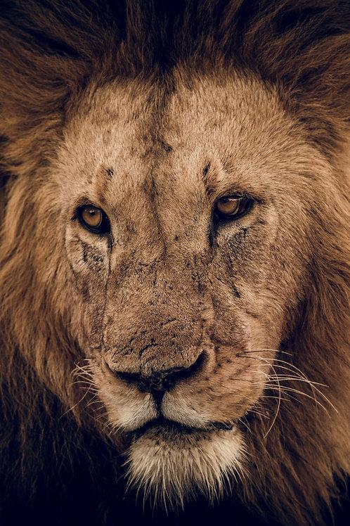 Portrait Lion Tanzanie