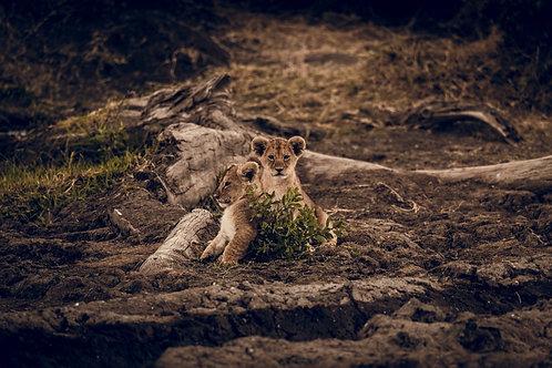 Bébés lions Tanzanie