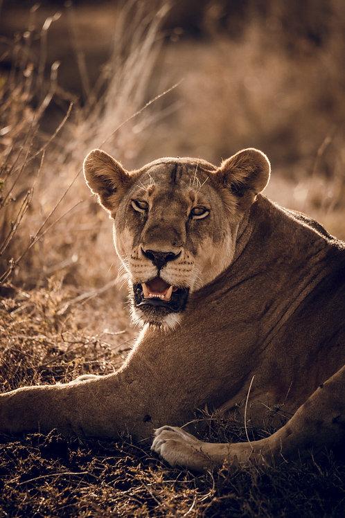 Portrait Lionne Tanzanie
