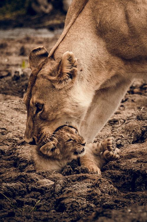 Lion et bébé lion Tanzanie