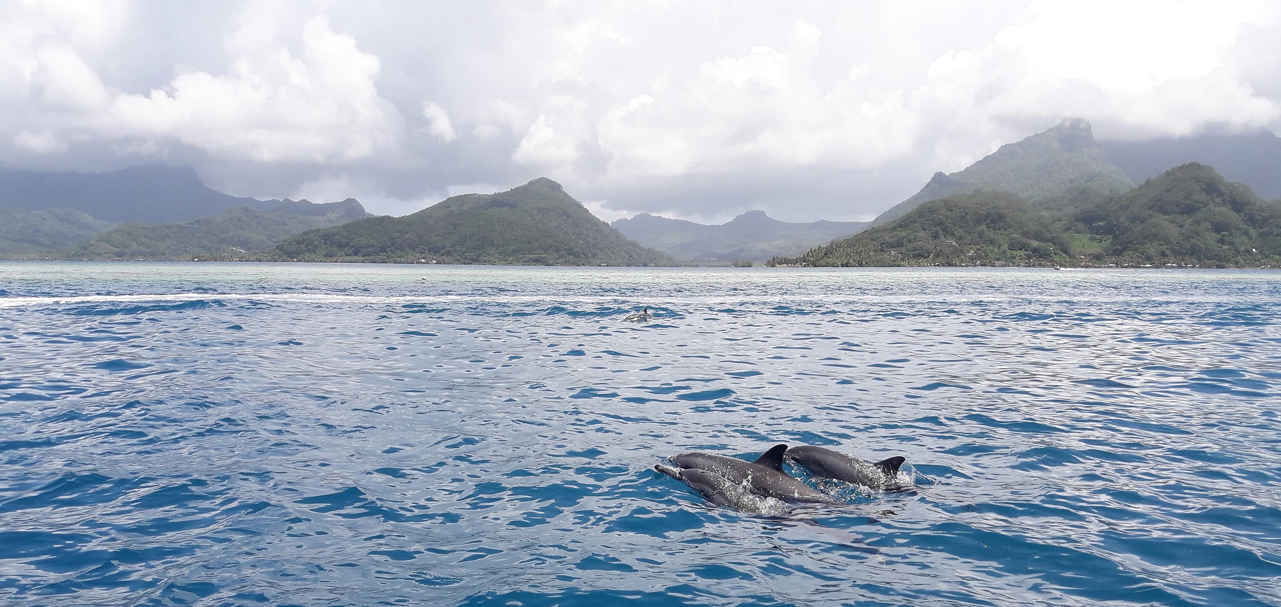 Dauphins des baies