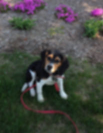 Mickie was a dog trained at Smart Dog