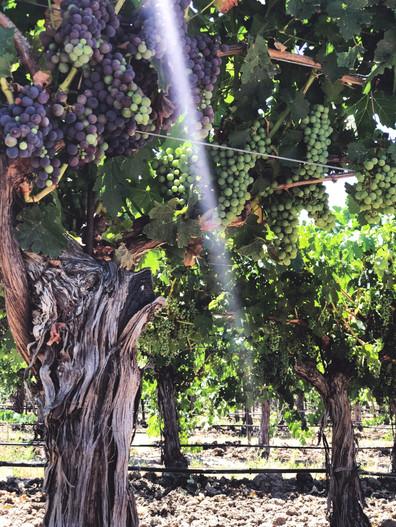 Cass Grapes