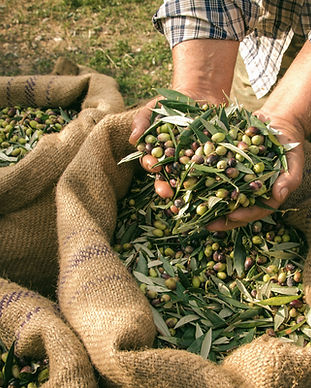 Olive, Olives, Oilve oil, Olive Harvest, Olive oil making, Winery retreat, Harvest Experience