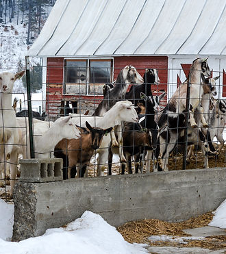 Curious Goat Yearlings