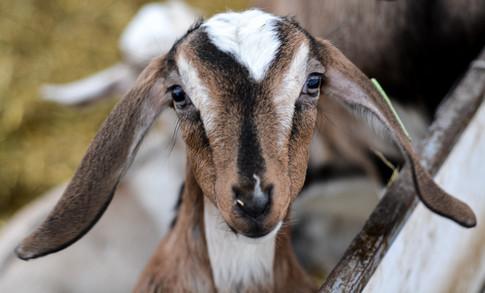 Nubian kid goat