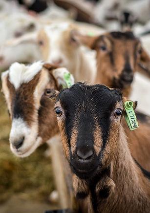 La Mancha kid goat