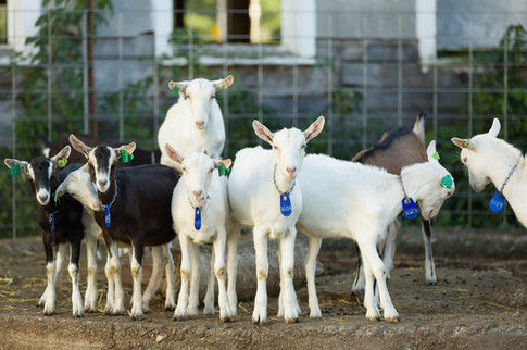 Yearling goats-Saanens and Alpines