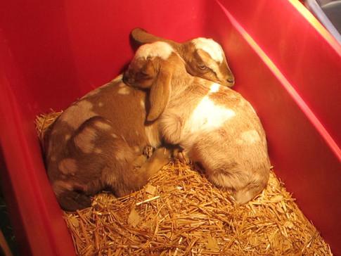 new born goats