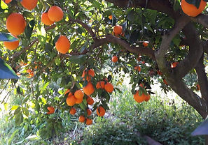orange_tree_soursos.jfif
