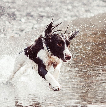 Dog%252520Running%252520in%252520Water_e