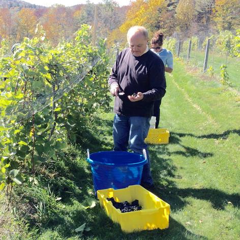Cold hardy hybrid grape picking.