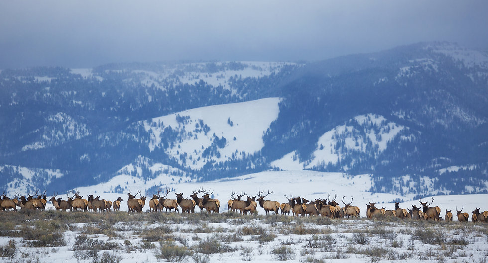A herd of elk stand atop a ridge in the