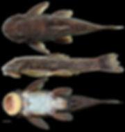 Fig8-Yaluwak primus holotype.jpg
