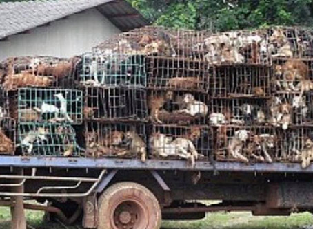 Local Pet Rescue Organizations Heading To China to Save Dogs from Dog Meat Slaughter Industry