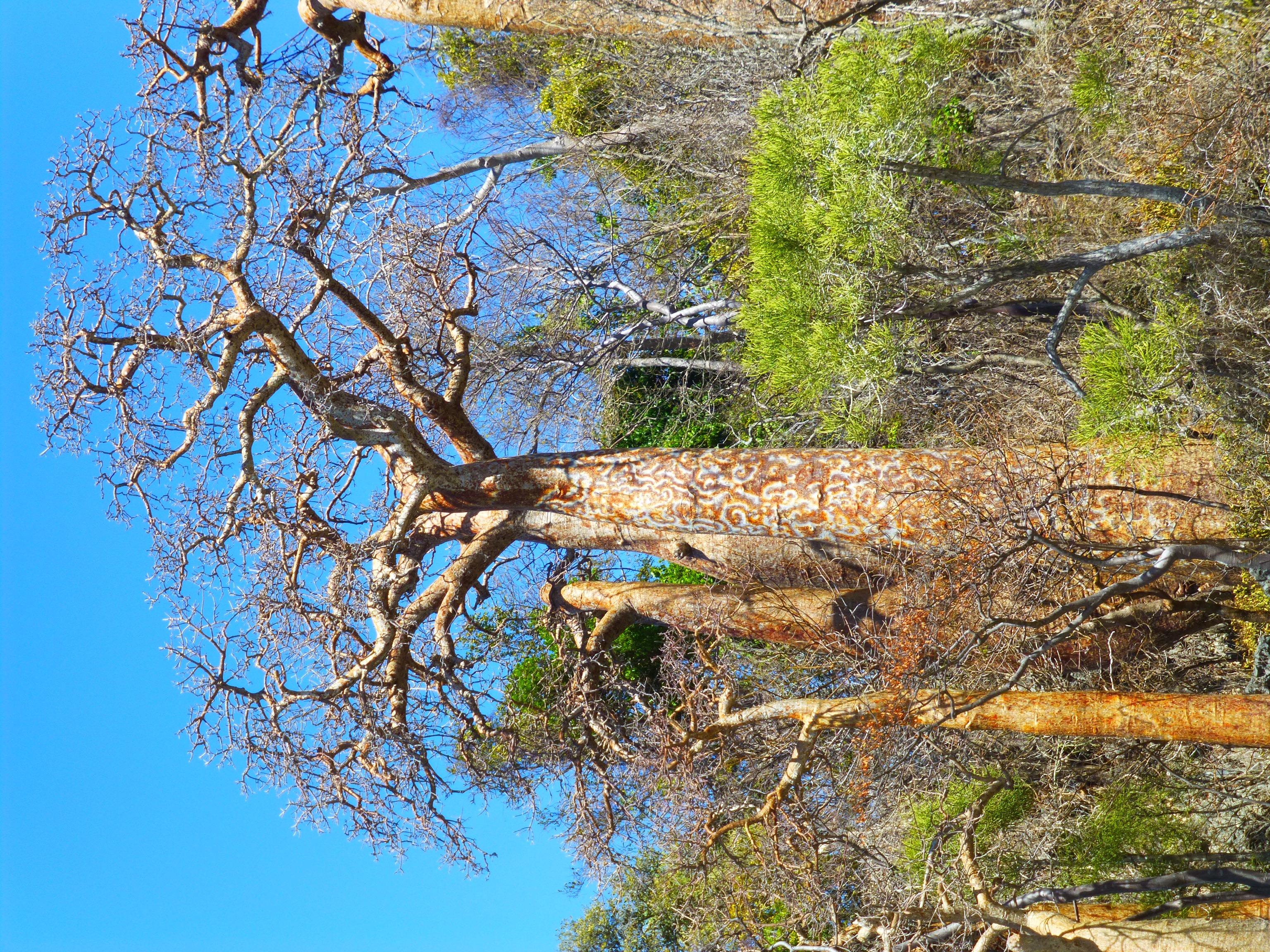 Baobab adansonia rubropstipa