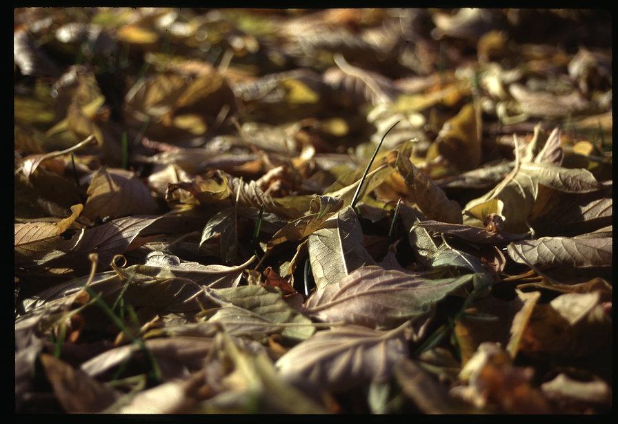 98-leaves.JPG