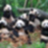 Chengdu Panda Zoo.jpg