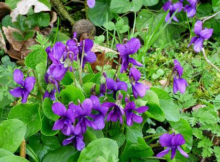 Violet Oxymel Recipe