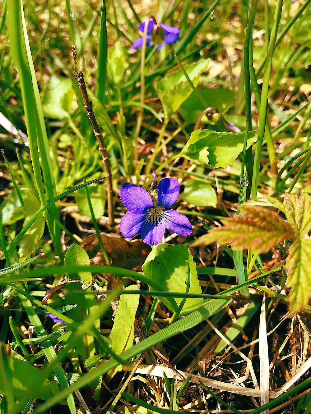 Wood Violet - Viola