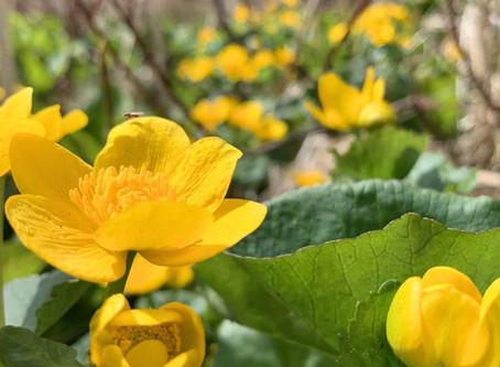 Marsh Marigold Appreciation