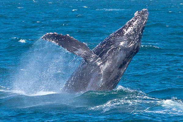 Baja-Gorda-Banks-Humpback-Whales-3287.jp