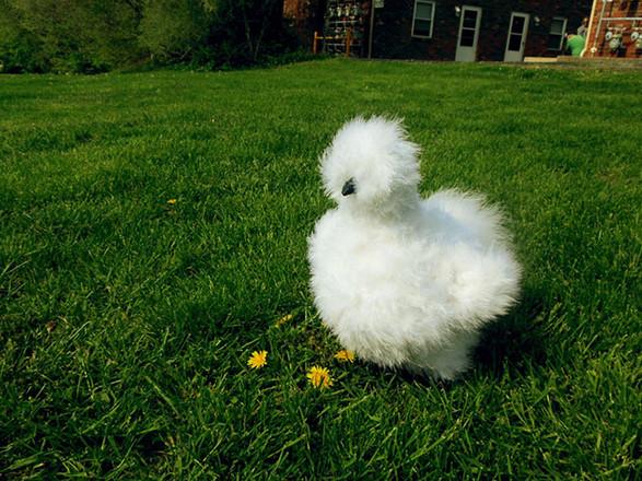 gallina-moroseta-silkie-bianca.jpg