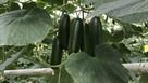 Natural light yields tastiest cucumber crop