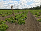 British potato growers advised on bridging the troubled waters of heat stress