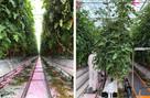 UK grower trials aeroponic propagation system