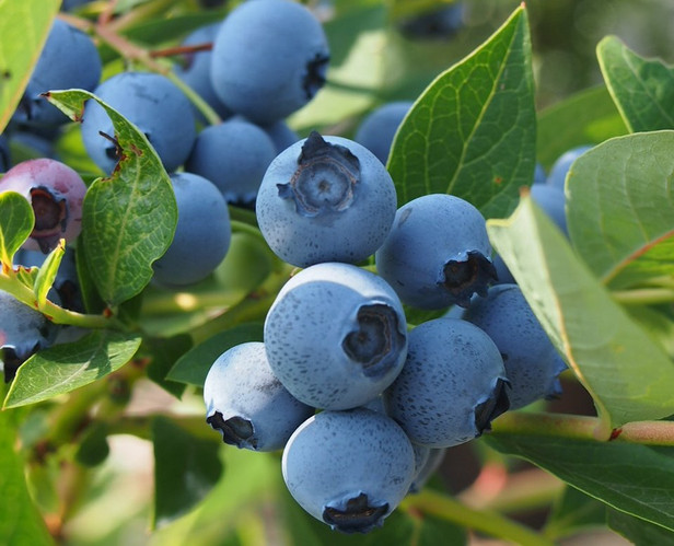 UK blueberry breeders strive for consistent taste appeal