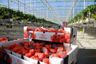 Hoogstraten launches first strawberry marketing campaign in the UK
