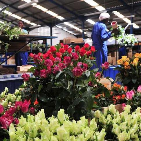 Covid-19 resurgence in Europe worries Keynan horticulture traders
