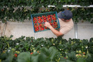 Vertical farming method to produce UK strawberries 'nine months a year'