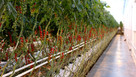 Thanet Earth loses £320k in tomato sales due to worker shortage