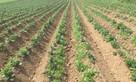 New disease-free potato developed