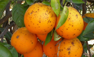 South Africa issues notice of termination of some citrus exports to the EU