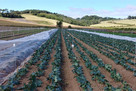 New brassica trials to help reduce food waste