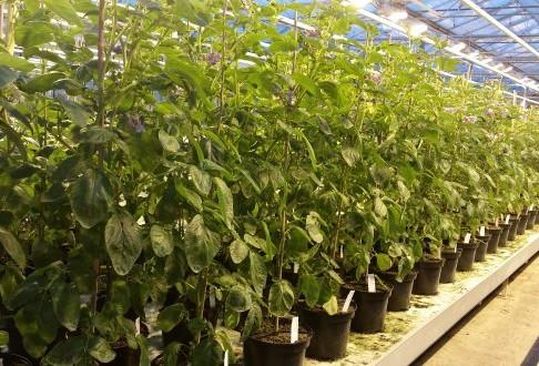 Complex potato genome further unveiled