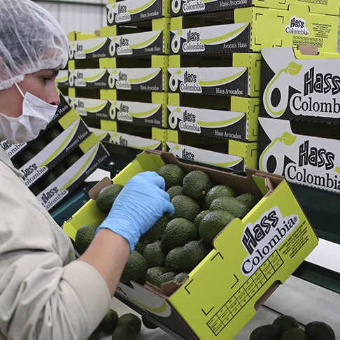 Hass avocado turns Colombia into an international investment scenario