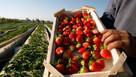Ministers to treble number of foreign fruit and veg pickers to ease fears of rotting harvests