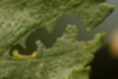 Zigzag-sawfly-larva.png