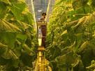 First British cucumbers of 2021