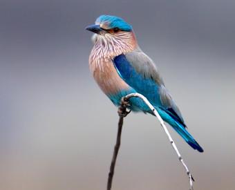HINDURACKE (Indian Roller)